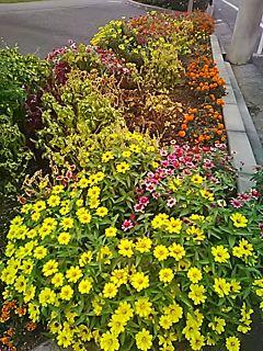🌟🌼🏵️_(※^^※)ゞ こんちわ。公園の花壇の花 (おまけ画像です。)