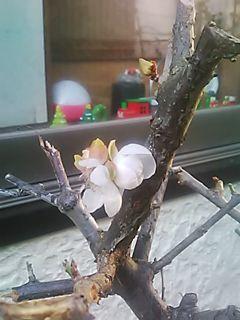 🌟🌅🌸_(※^^※)ゞ こんにちわ。ハロウィーン過ぎたら梅の花が咲いた! 11月ですよ?