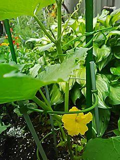 🌟🥒🍅_(※^^※)ゞ 。胡瓜を植えたら… 黄色い花が咲きました。実がつきますよぉ〜〜〜😆
