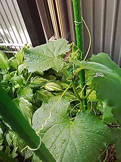 🌟🥒_(※^^※)ゞ 。胡瓜を育てております。(成長が早いです。) 25日のつづき…